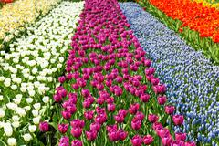 Dutch bulb field with colorful tulips Stock Photos