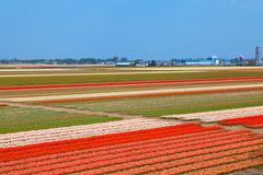 Dutch bulb field of colorful tulips near lisse Stock Photos