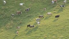 Crocker End cows in field cu-Progressive Stock Footage
