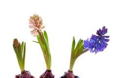 three hyacinthus flowers - stock photo