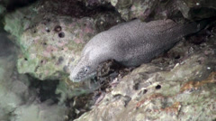 The Paintspotted moray on the rocks is completely out of the water. Stock Footage