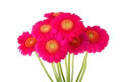 Bouquet of pink  gerber flowers Stock Photos
