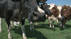 Curious cows Stock Footage