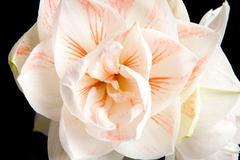 white amaryllis flower in closeup - stock photo