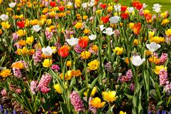 Dutch bulb field with colorful tulips and hyacinths Stock Photos