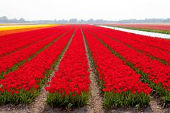 dutch bulb field with red tulips - stock photo