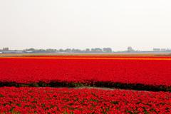 Dutch bulb field with red tulips Stock Photos