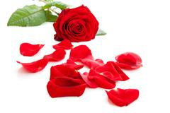Red rose with fallen leaves Stock Photos
