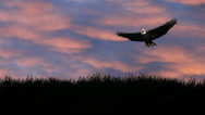 Stock Video Footage of Bald Eagle soaring over landscape