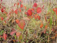 blackberry leaves - stock photo