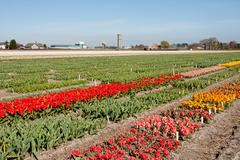 dutch landscape, bulb fields with white tulips - stock photo