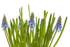 Muscari botryoides flowers also known as blue grape Stock Photos