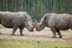 Couple of rhinos fighting Stock Photos