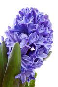 purple hyacinthus flower in closeup - stock photo