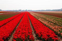 Dutch bulb field Stock Photos