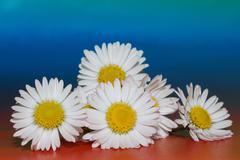 Lot of daisy Stock Photos