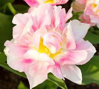 Beautiful dutch tulip Stock Photos