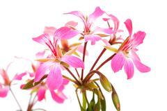 Stock Photo of pink geranium flowers in closeup