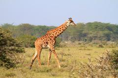 Rothschild giraffe in kenya Stock Photos