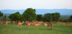 group of grant gazelles - stock photo