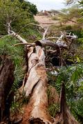 fallen tree with cercopithecus aethiops vervet monkey - stock photo