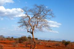 bare tree in kenya, africa - stock photo