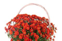 basket with sphere chrysanthemum - stock photo