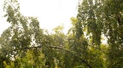 Windy birch Stock Footage