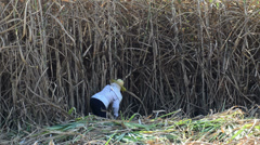 Worker cutting sugar cane, Thailand Stock Footage