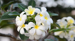 Frangipani in the wind Stock Footage