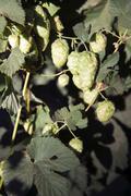Humala kasvien silmut kasvaa viljelijän alalla Oregon maatalous Kuvituskuvat