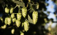 Stock Photo of hops plants buds growing in farmer's field oregon agriculture