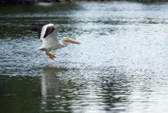 Pelican bird amimal wildlife flies into landing lake klamath Stock Photos
