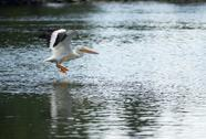 Stock Photo of pelican bird amimal wildlife flies into landing lake klamath