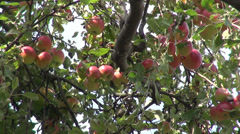 Apple tree, organic Jonathan fruits, raw, orchard, farm, horticulture Stock Footage