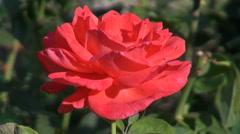 Wonderful open rose in the romantic garden, ornamental flower, closeup Stock Footage