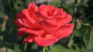 Stock Video Footage of Wonderful open rose in the romantic garden, ornamental flower, closeup