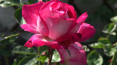 Wonderful rosebud in the romantic garden, ornamental flower, closeup Stock Footage