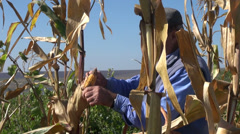 Stock Video Footage of Farmer gathering corn, harvesting corn, organic farm, local produce, corn field2