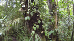 Stock Video Footage of Tracking up an epiphyte covered tree trunk in Amazonian Rainforest in Ecuador.