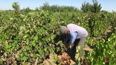 Farmer picking red wine grapes, organic farm, fall, vegan, harvest, vineyard Stock Footage