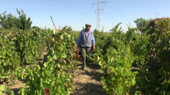 Farmer carrying a basket of red wine grapes, organic farm, harvest, vineyard Stock Footage