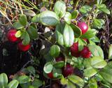 Stock Photo of Cowberry
