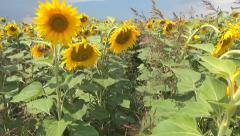 Walking in Sunflowers Field, Agriculture Harvest, Agrarian Culture, Crops Field - stock footage