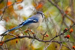 autumnal blue jay - stock photo