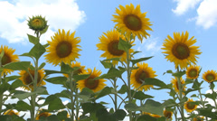 Sunflowers Field, Agriculture Harvest, Agrarian Culture, Industry Crops Field - stock footage