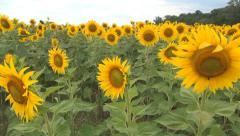Sunflowers Field, Agriculture Harvest, Agrarian Culture, Industry Crops Field Stock Footage
