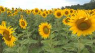 Stock Video Footage of Sunflowers Field, Agriculture Harvest, Agrarian Culture, Industry Crops Field