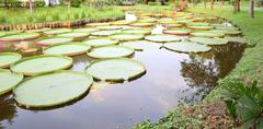 curve long pond of victoria lotus leaf. - stock photo