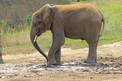 Pieni afrikkalainen norsu Indianapolisin eläintarha Kuvituskuvat